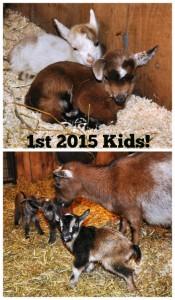 1st 2015 Goat Kids via Better Hens and Gardens