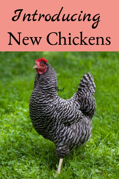 Introducing New Chickens To Your Flock - 8 Steps To Success
