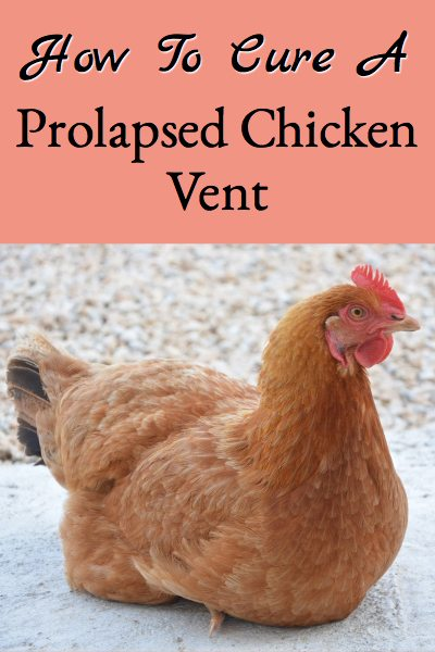 Instructions for curing a prolapsed chicken vent.