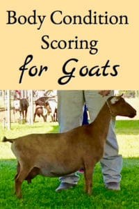 Body Condition Scoring for Goats