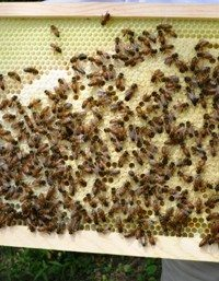Third Hive Inspection