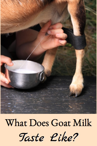 Describes what goat milk tastes like and how it varies between dairy goat breeds