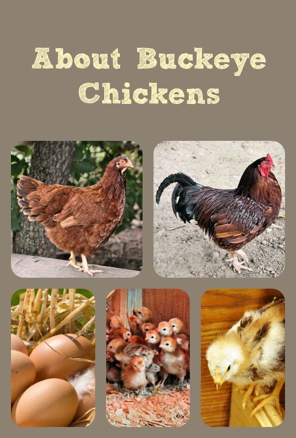 About Buckeye Chickens
