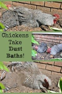 Chickens Don't Take Water Baths – They Take Dust Baths!