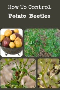 5 Steps for Controlling Potato Beetles
