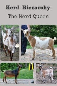Goat Herd Hierarchy: The Herd Queen