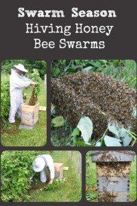 Swarm Season – Hiving Honey Bee Swarms