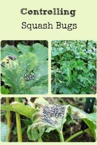 Controlling Squash Bugs