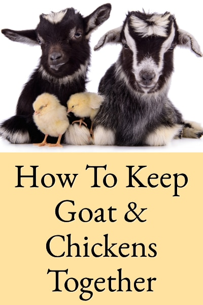 How To Keep Goats & ens In The Same Yard Raised Goat House Designs on guinea fowl house design, quail house design, tornado-proof house design, duck house design, chicken house design, housing simple house design, rooster house design, conch house design, chief architect house design, mouse house design, dragon house design, rest house design, turkey house design, cattle house design, gold house design, vietnamese house design, hog house design, rabbit house design, troll house design, virgo house design,