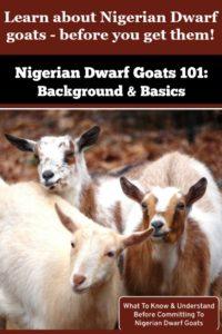Nigerian Dwarf Goats 101