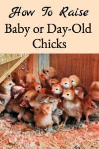 Raising Day Old (Baby) Chicks