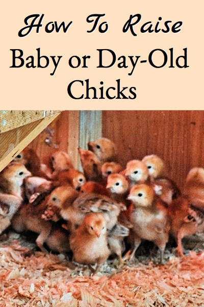 how to raise baby or day old chicks