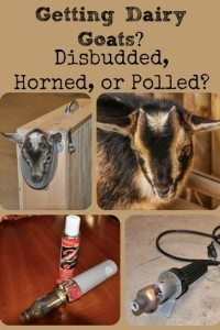 Getting Dairy Goats – Disbudded, Horned, or Polled?