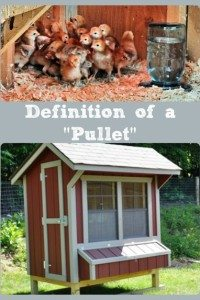 Definition of a Pullet