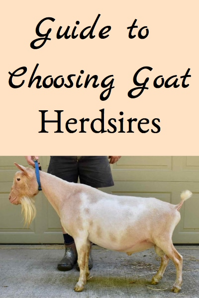 Choosing Goat Herdsires