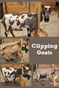 Clipping Goats