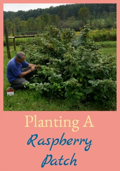 Raspberries are perennials so they make great additions to the homestead. Planting a raspberry patch is easy so you can enjoy them every year - here's how!