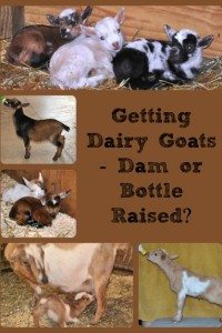 Getting Dairy Goats – Dam or Bottle Raised?