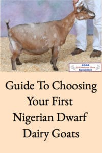 Choosing Your First Nigerian Dwarf Goats