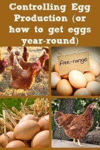 Controlling Chicken Egg Production