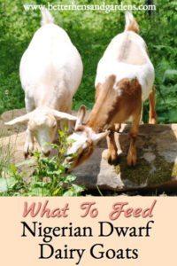 Feeding Nigerian Dwarf Dairy Goats