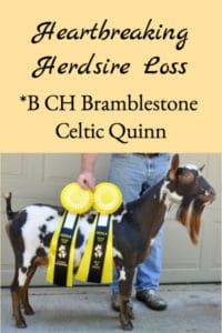 Herdsire Loss – *B CH Bramblestone Celtic Quinn