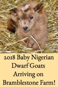 2018 Baby Nigerian Dwarf Goats Arriving on Bramblestone Farm!