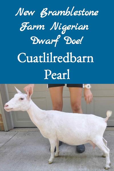 Cuatlilredbarn Pearl