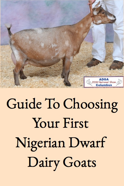 This guide will help you choose great Nigerian Dwarf goats for your dairy goat herd!
