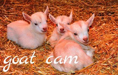 Goat Cam