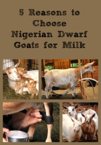 5 Reasons to Choose Nigerian Dwarf Goats for Milk via Better Hens and Gardens