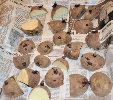 Seed Potatoes After Cutting
