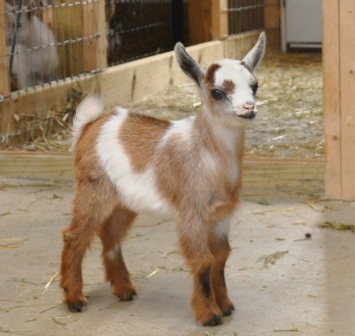 What Are Polled Goats?
