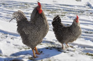 Plymouth Barred Rock hen and rooster