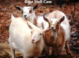Goat Stall Cam