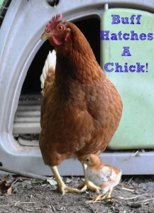 Buff Hatches A Baby via Better Hens and Gardens
