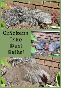 Chickens Dust Bathing via Better Hens and Gardens