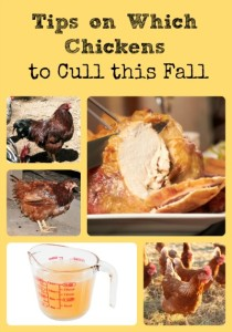 Which Chickens to Cull via Better Hens and Gardens
