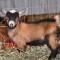 Wethering (Neutering) Nigerian Dwarf Goats via Banding
