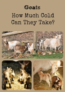 Goats How Much Cold Can They Take via Better Hens and Gardens