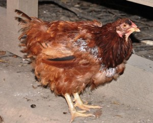 Molting Chicken 4