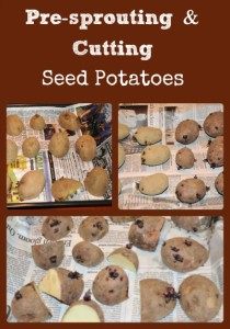 Pre-sprouting & Cutting Seed Potatoes via Better Hens and Gardens