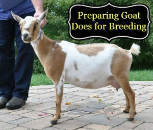 Preparing Goat Does for Breeding via Better Hens and Gardens