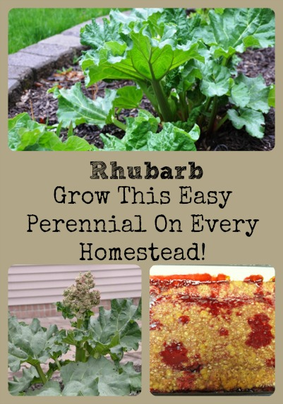 Rhubarb, An Easy Perennial For Every Homestead via Better Hens and Gardens