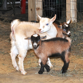Basic Goat Pregnancy Care - photo#38