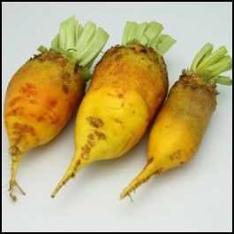Growing Mangel Beets For Chickens