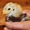 Time for Chicks – Free Hatchery Catalogs/Links!